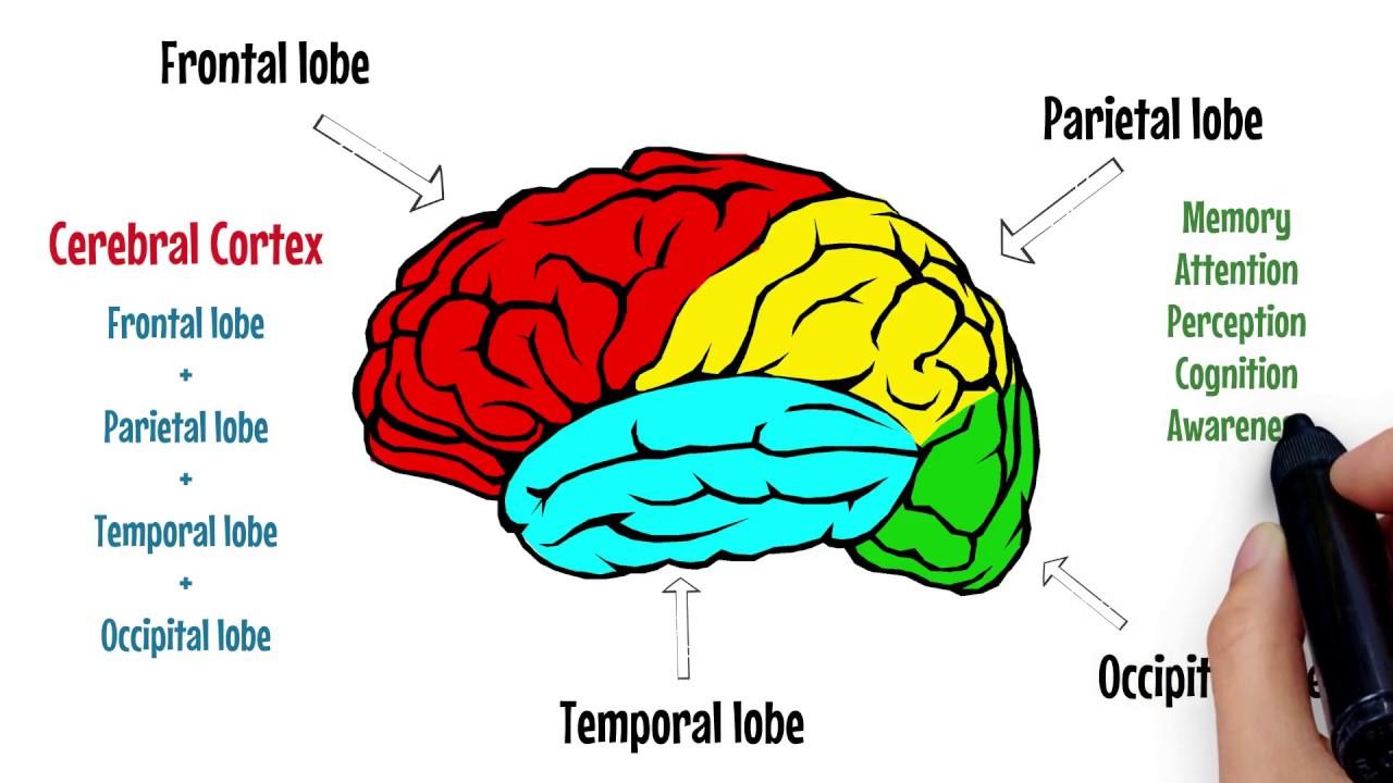 The Brain Explained | Cerebral Cortex - Frontal Lobe - Parietal Lobe ...