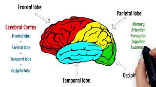 The Brain Explained | Cerebral Cortex - Frontal Lobe - Parietal Lobe |