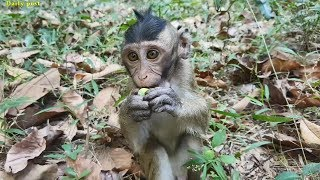 Adorable baby Berry eating food, lovely baby monkeys going forage, Mila troop