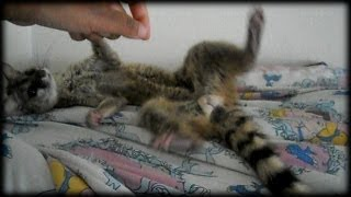Sleepy spotted genet (exotic pet)