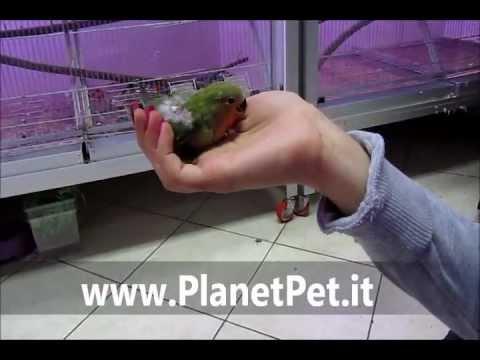 Inseparabile Roseicollis da imbocco – www.PlanetPet.it