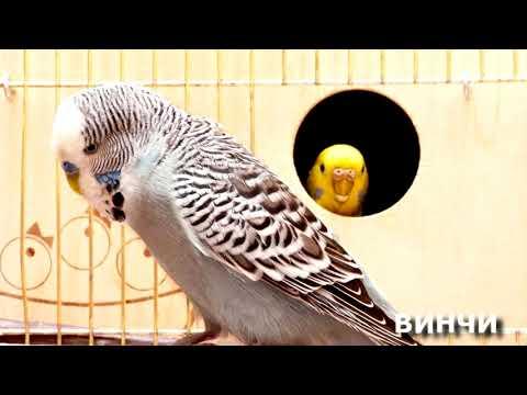 Видео: ПЕНИЕ ПОПУГАЕВ - Веселое пение и чириканье ВОЛНИСТЫХ ПОПУГАЙЧИКОВ | FUNNY SINGING of WAVY PARROTS
