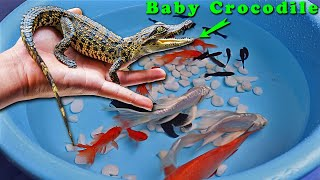 Crocodile Fish Carp Goldfish Perch Guppy Guppies Cute baby animals Videos Black Koi Fish