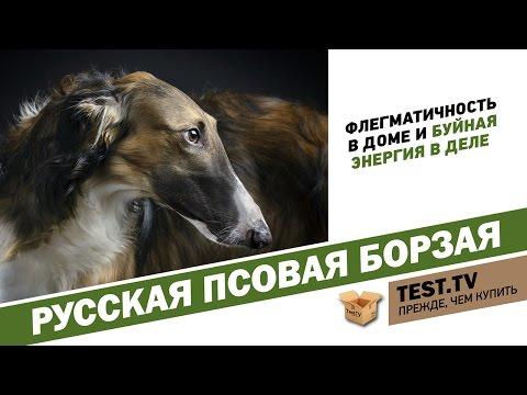 TEST.TV: Почему взятки брали борзыми) Русская псовая борзая.