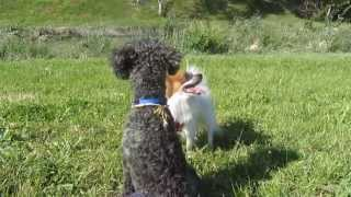 Papillon And Miniature Poodle Play