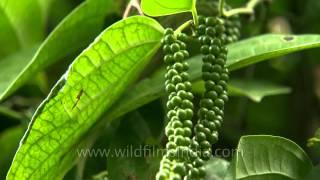 King of spices - Pepper in Karnataka