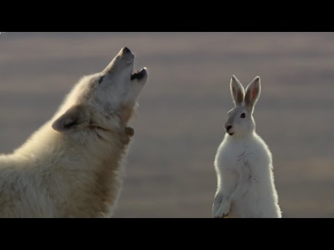 Thumbnail: Wolf Pack Hunts A Hare - The Hunt - BBC Earth