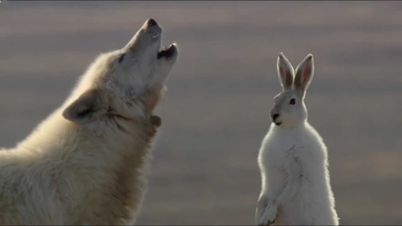 Wolf Pack Hunts A Hare