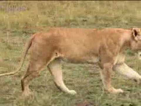 Injured lion searches for help in the African jungle - BBC wildlife
