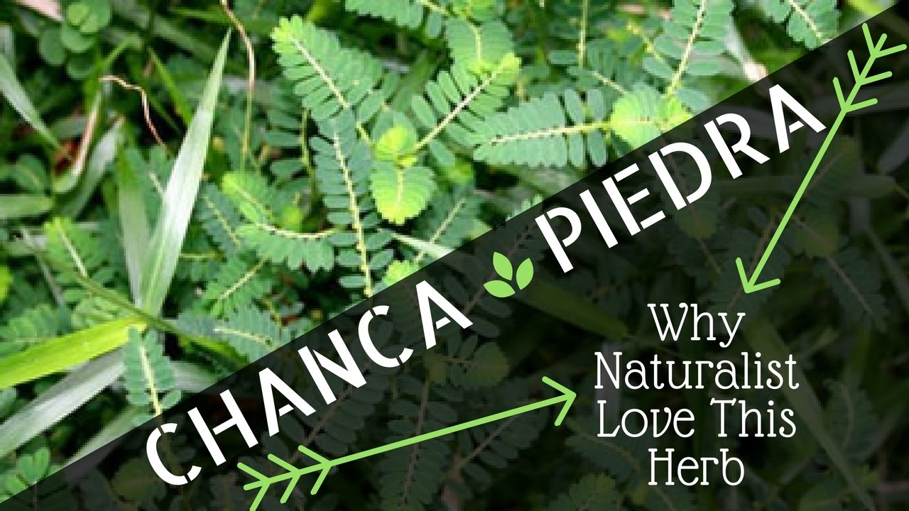 Chanca Piedra Benefits: Why Naturalists Love this Herb!