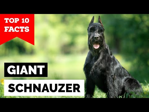 Giant Schnauzer - Top 10 Facts