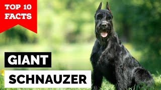 Giant Schnauzer  Top 10 Facts
