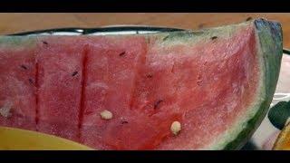 Plagegeister: So vertreiben Sie Fruchtfliegen dauerhaft