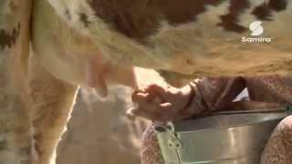 Samira TV comment traire une vache algérienne 09 2014