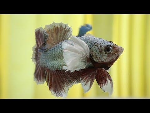 Basic Betta Fish Color Genetics