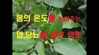 N43.몸의 온도를 높혀주는 항암약초 감태나무,,Lin…