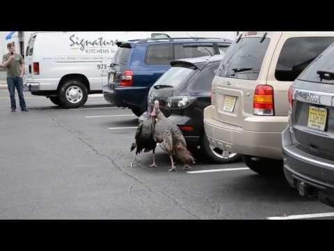 Turkey Fight in Hawthorne NJ