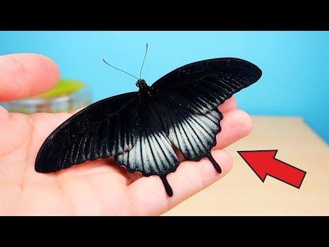 Бабочкариум! Родились две новые Черные бабочки! Alex Boyko
