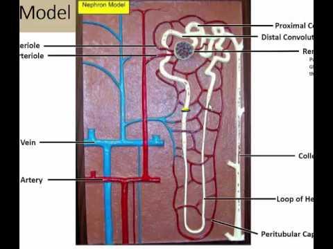 The Nephron Anatomy Model - YouTube