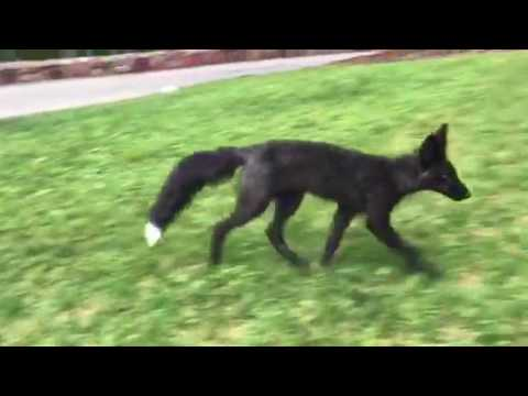 Foxes Play on the University of Colorado Boulder Campus