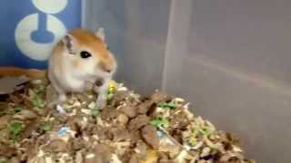 Super Cute gerbil squeaking when being petted