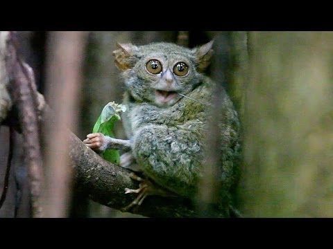 TARSIUS TARSIER eating grasshopper in Tangkoko Nature Reserve - North Sulawesi, Indonesia