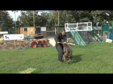 American Bulldog and Cane Corso Bandog protection Dogs