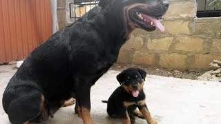 Rottweiler: Puppy Wants To Play With His Parents (bison)