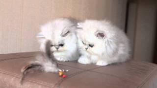 Персидские котята, серебристые шиншиллы.