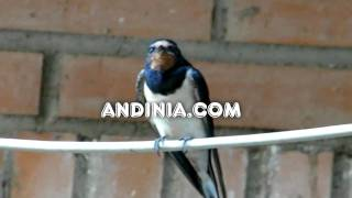 Canto de golodrina - Song of barn swallow - Canto da andorinha-das-chaminés