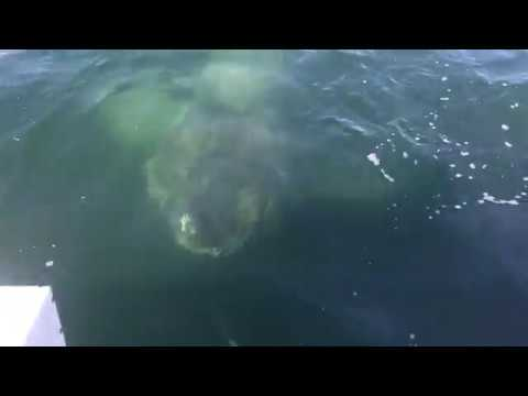 Giant Shark Encounter, Barnstable Harbor, Cape Cod, 2017