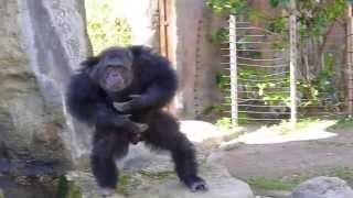Танцующая обезьяна в зоопарке г.Барселона