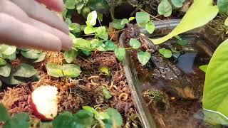 Размножение африканских гигантских кивсяков и обычные лягушки в террариуме.