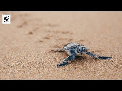 Climate Change is Affecting the Sex Ratio of Turtles | WWF-Australia