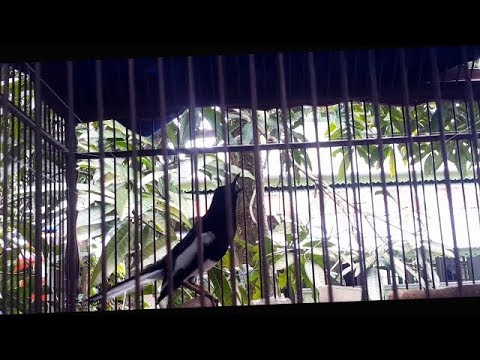 Video Suara Kacer PLAT SENCE 54 Milik DETRA