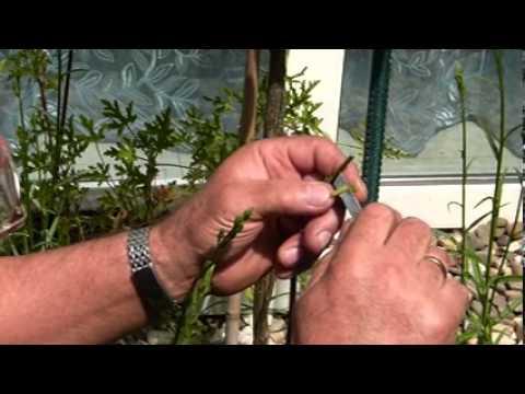 как привить розу к шиповнику пошаговая инструкция с фото - фото 8
