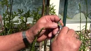 как прививать розы - 2 способа(мой дядя заядлый садовник, и знает кучу разных трюков по этому делу!!!! вот одна из пластических операций..., 2013-05-27T20:52:45.000Z)