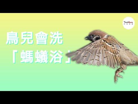 """乌鸦在洗""""蚂蚁浴"""",摄影师拍到罕见画面(图/视频)"""
