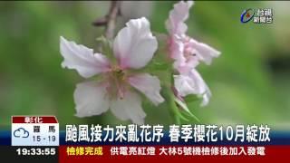 颱風接力來亂花序春季櫻花10月綻放