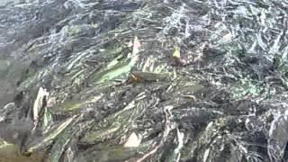 Столько красной рыбы-аж невод тонет...