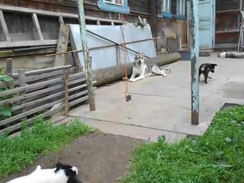 Кто хочет приобрести щенков восточно-сибирской лайки? Ищу покупателей, самих щенков продам через неделю. Мальчики. Если что,то. 25 ноя. Холмск.