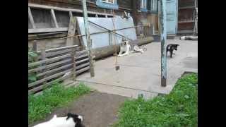 Щенки восточно-сибирской лайки