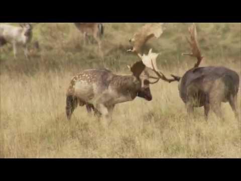 Fallow Deer Rut. Petworth Park