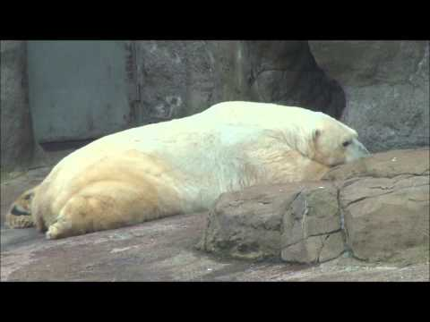 Wrangel's lazy afternoon at Moscow Zoo, Russia