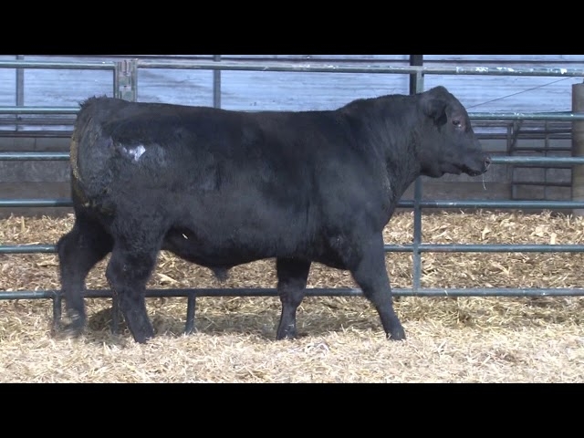 Schiefelbein Angus Farms Lot 92