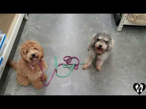 Mini Goldendoodle puppy Ace, and Schnoodle Oliver, learning manners | Houston dog training