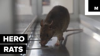 Giant 'HeroRATS' are Helping to Make the World a Safer Place