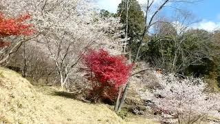 四季桜と紅葉の共演(豊田市小原地区)