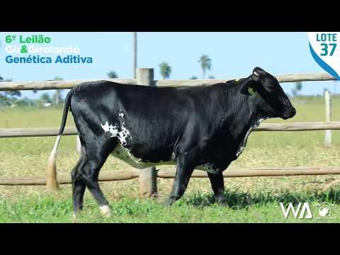 LOTE 37 - 5292 BJ - 6º Leilão Gir & Girolando Genética Aditiva