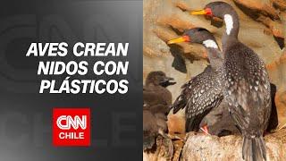 Desafío Tierra: Aves cormorán crean nidos con plásticos